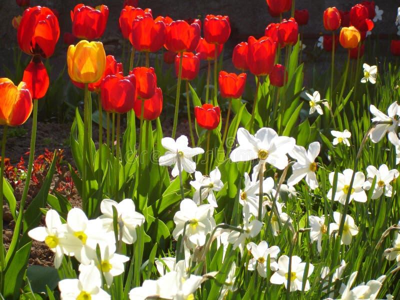 Tulpen en gele narcissen stock afbeelding