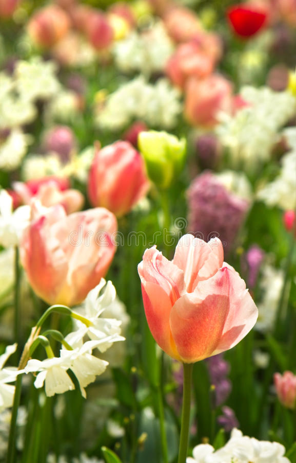 Tulpen en gele narcissen in wit en pastelcolors stock afbeeldingen