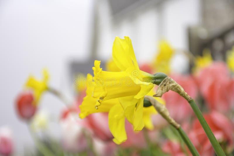 Tulpen en Gele narcissenbloemen op Brits platteland stock afbeelding