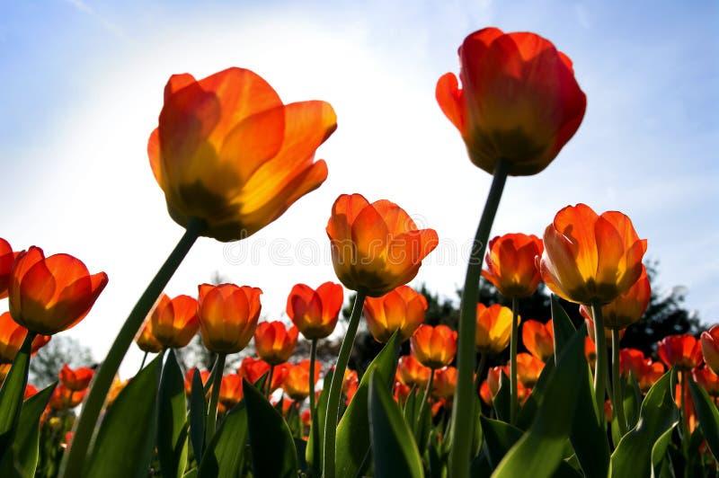 Tulpen en hemel stock foto