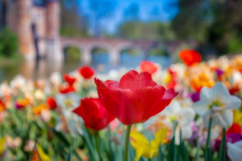Tulpen in floralia in Brussel België stock foto's