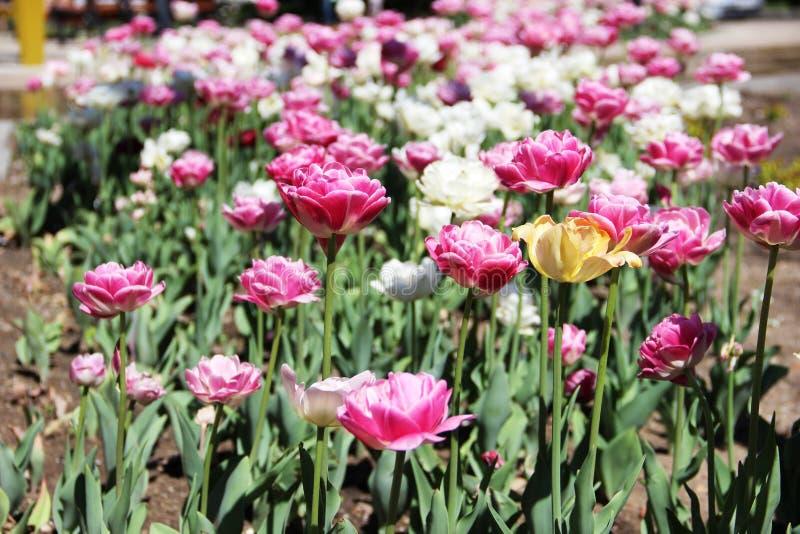 Tulpen in het bed van de stadsbloem heel wat tulpen in witte en roze kleur royalty-vrije stock fotografie