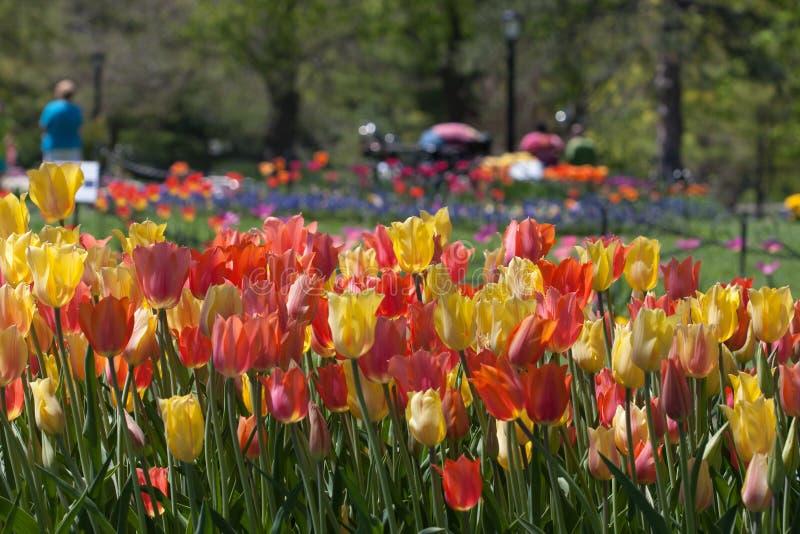 Tulpen in het Park royalty-vrije stock afbeelding