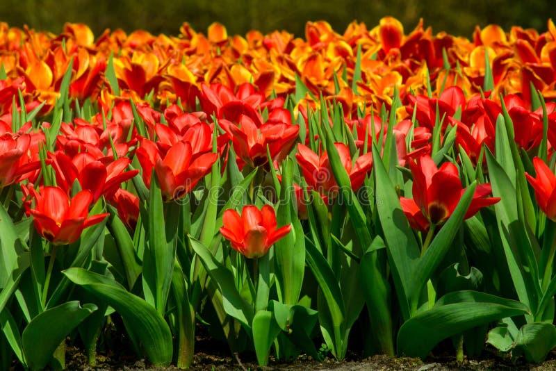 Tulpen in Holland stockfoto