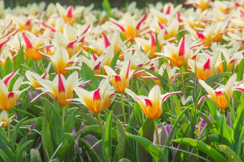 Tulpen in Holland stockbild