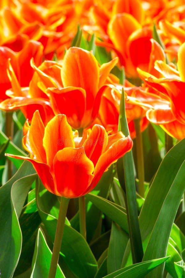 Tulpen in Holland lizenzfreies stockbild