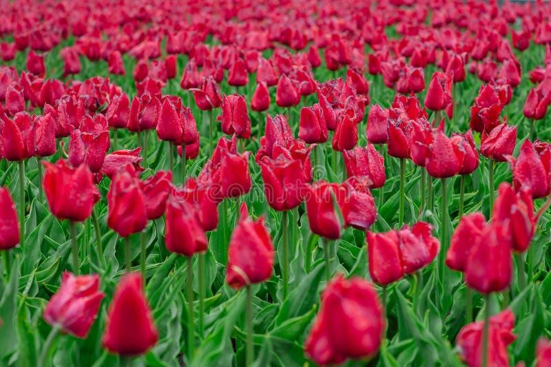 Tulpen im Blumengarten stockfoto