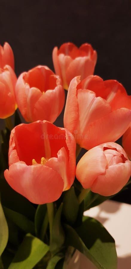 Tulpen im Pfirsich lizenzfreies stockbild