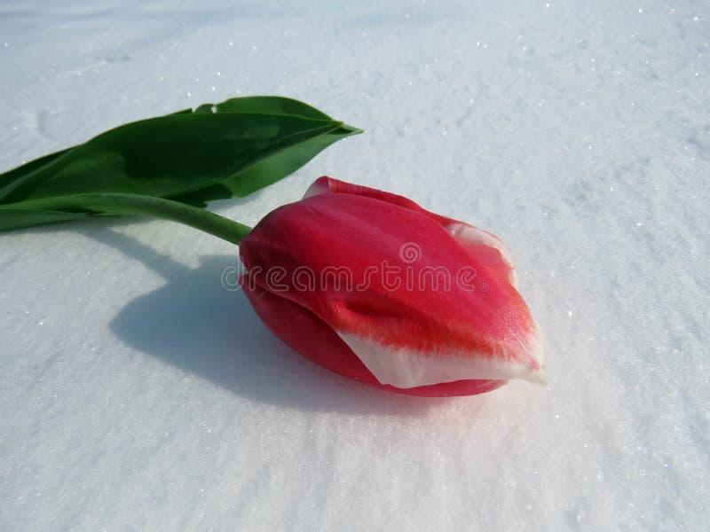 Tulpen im Schnee stockfotografie
