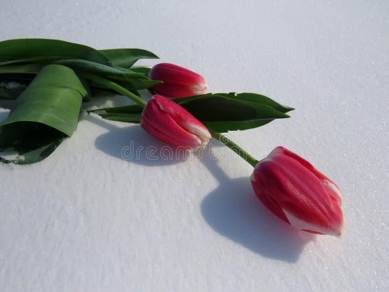 Tulpen im Schnee stockfoto