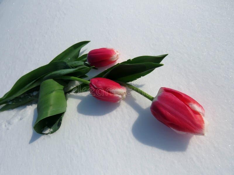 Tulpen im Schnee stockbild