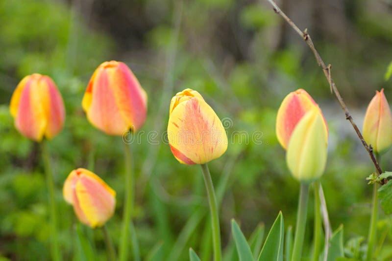 Tulpen im wilden lizenzfreie stockbilder