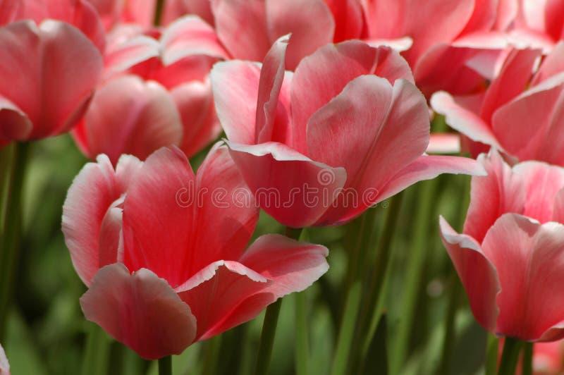 Tulpen in Keukenhof lizenzfreie stockfotografie