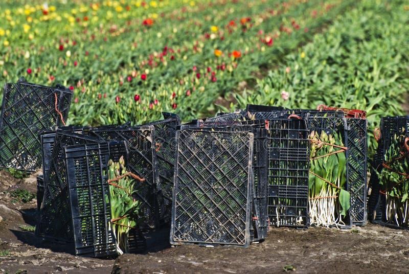 Tulpen Klaar voor Markt stock afbeeldingen