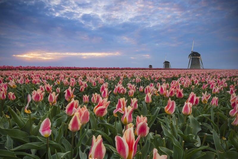 Tulpen, Mühlen und Sonnenuntergang stockfotografie