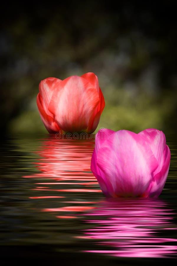 Tulpen met waterbezinning royalty-vrije stock afbeeldingen