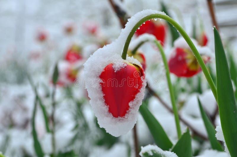 Tulpen onder sneeuw royalty-vrije stock afbeeldingen