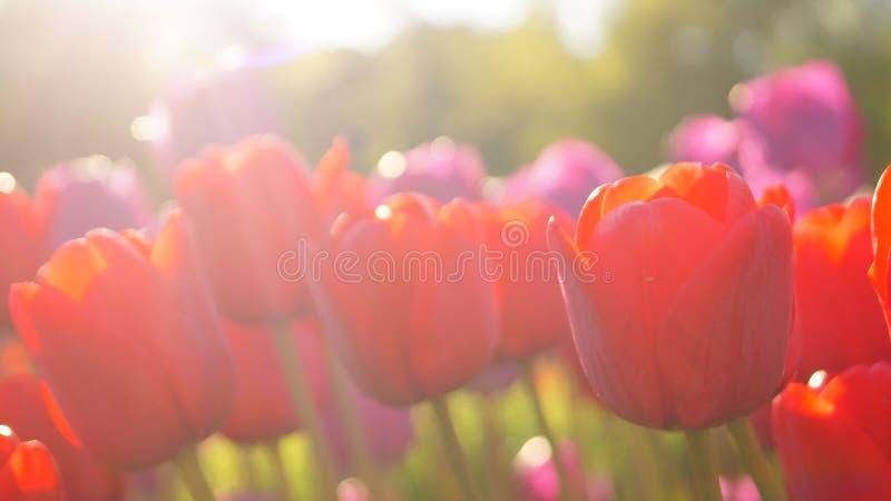 Tulpen op een gebied royalty-vrije stock afbeeldingen