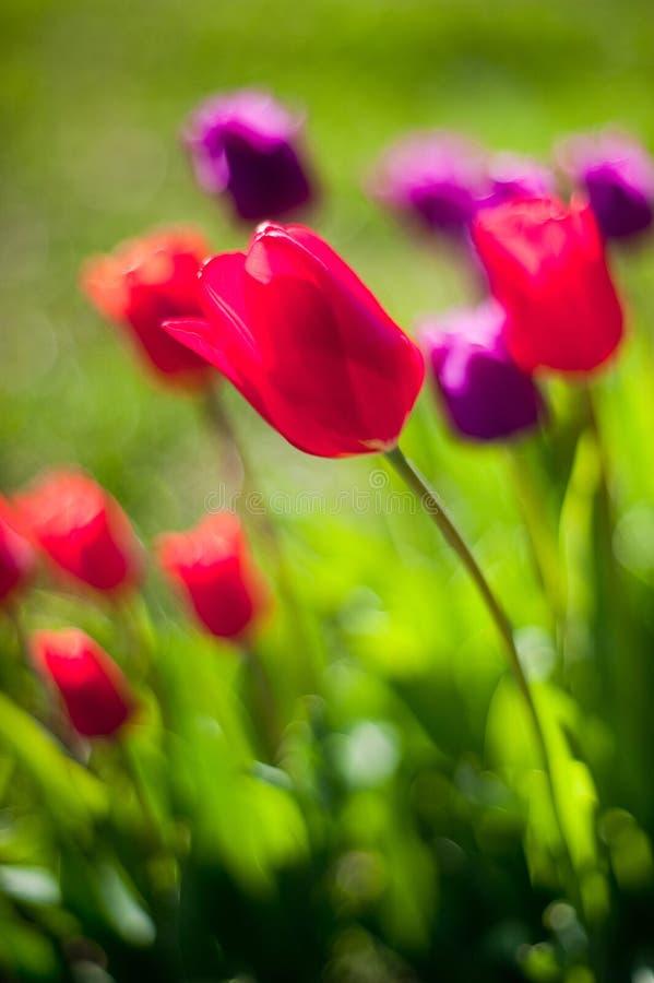 Tulpen op het gebied stock afbeelding