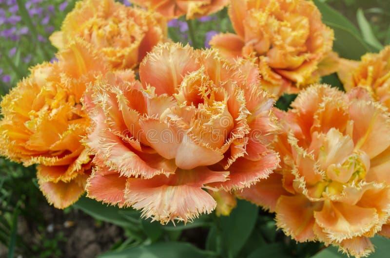 Tulpen riefen Sensual Touch an Eingesäumte Pfingstrosentulpe lizenzfreie stockbilder