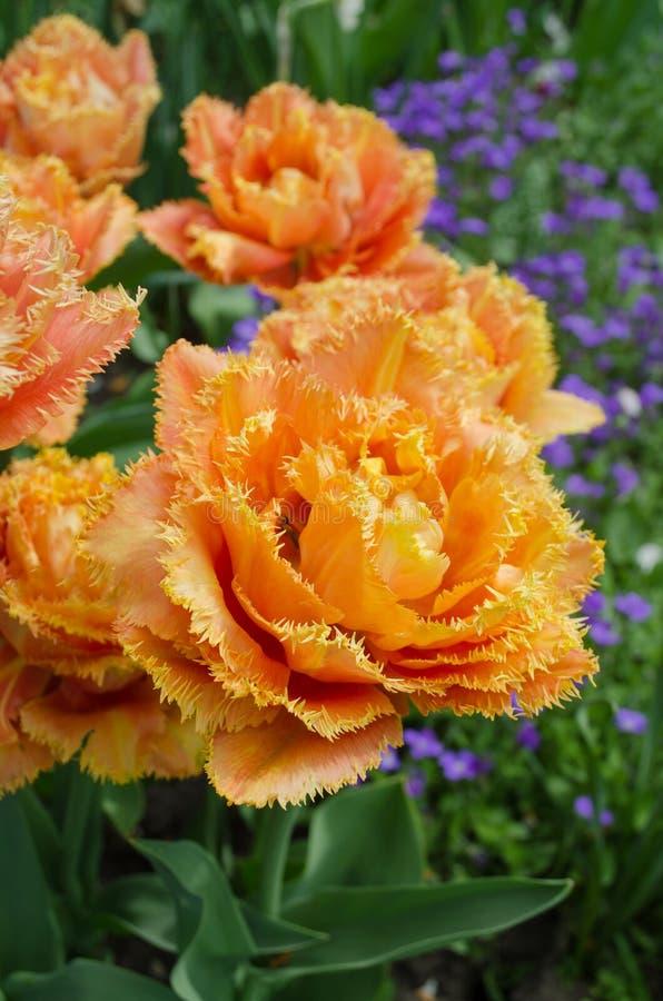 Tulpen riefen Sensual Touch an Eingesäumte Pfingstrosentulpe stockfotos