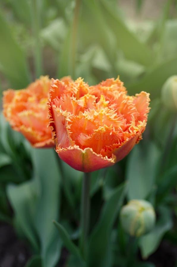 Tulpen riefen Sensual Touch an Eingesäumte Pfingstrosentulpe lizenzfreie stockfotos