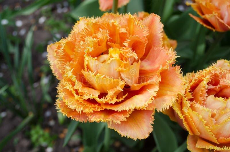 Tulpen riefen Sensual Touch an Eingesäumte Pfingstrosentulpe stockbilder