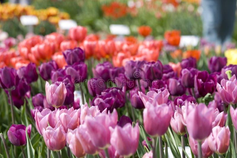 Tulpen in roze en purple stock afbeelding