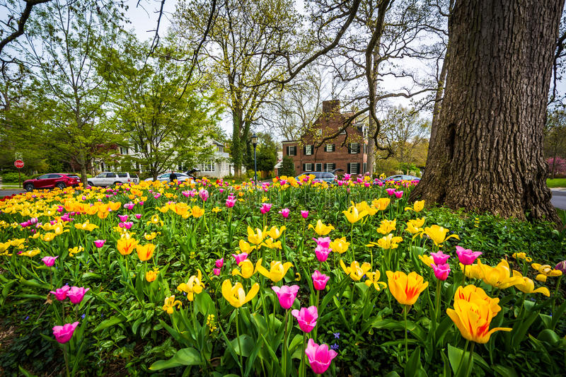 Tulpen in Sherwood Gardens Park, in Baltimore, Maryland royalty-vrije stock foto