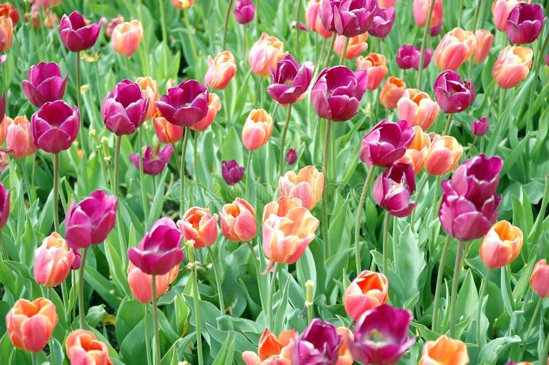 tulpen tapijt royalty-vrije stock afbeeldingen