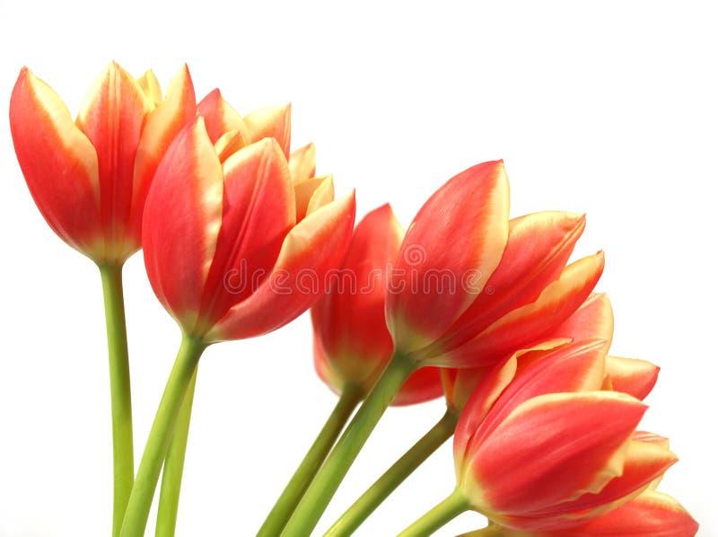 Tulpen - tulipagesneriana stock fotografie