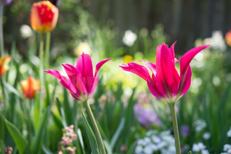 Tulpen und anderer bunter ländlicher Garten der Blumen im Frühjahr als Blumenhintergrund lizenzfreie stockfotos