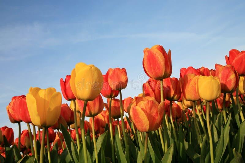 Tulpen und blauer Himmel lizenzfreie stockfotografie