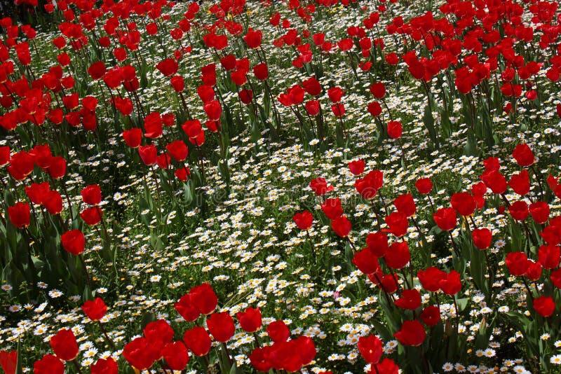 Tulpen und camomiles lizenzfreies stockbild