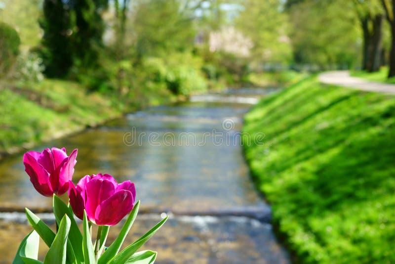 Download Tulpen Und Der Oos-Fluss In Baden-Baden Stockfoto - Bild von horizontal, betriebe: 90232728