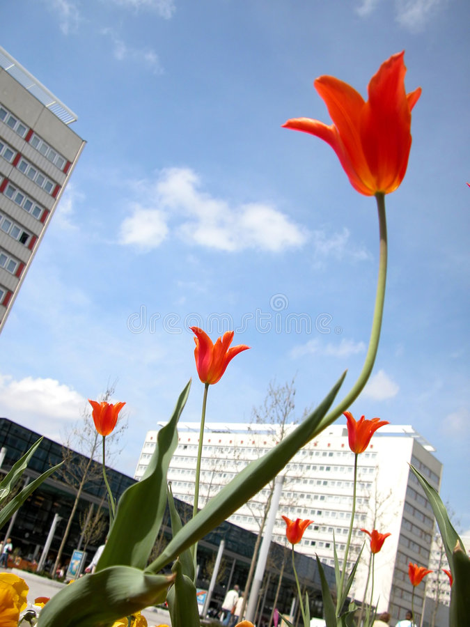 Tulpen und Gebäude stockfoto