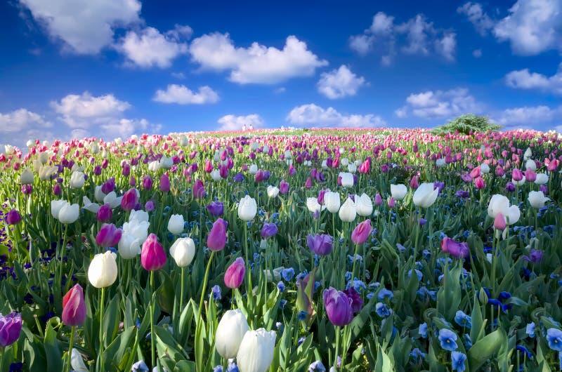 Tulpen und Petunien im Sun lizenzfreies stockfoto