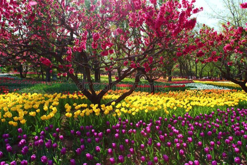 Tulpen und Pfirsich blüht im Frühjahr stockbilder