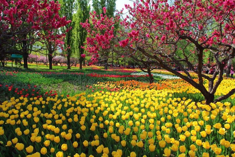 Tulpen und Pfirsich-Blüten im Garten-Frühling stockbild