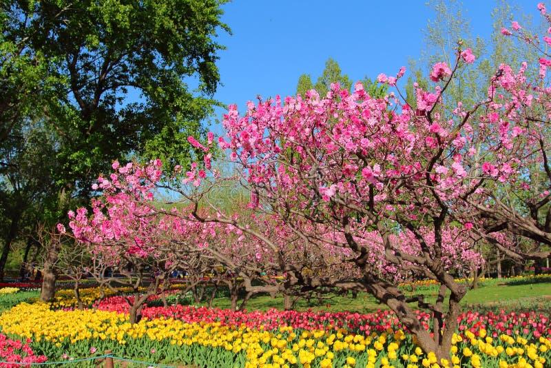 Tulpen und Pfirsich-Blüten im Garten-Frühling stockbilder