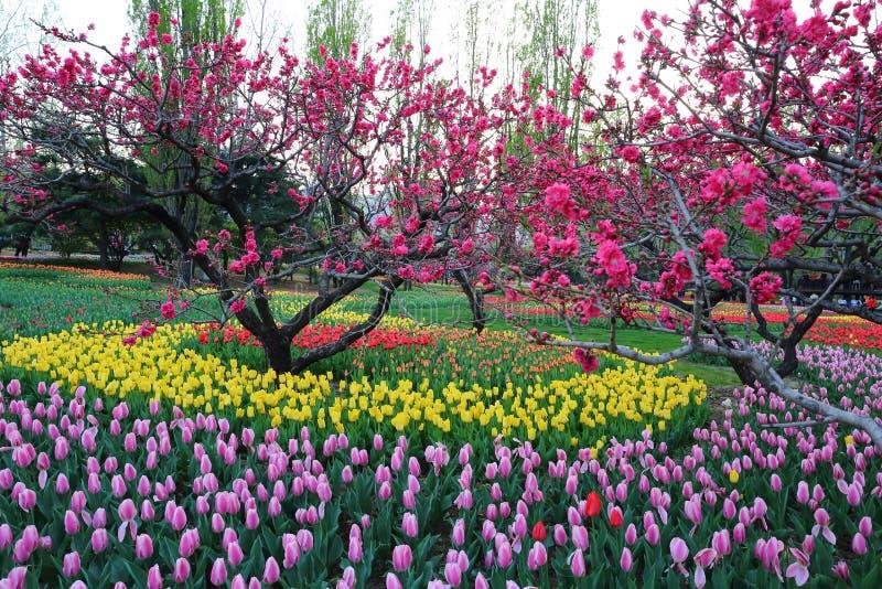 Tulpen und Pfirsich-Blüten im Garten-Frühling stockfoto