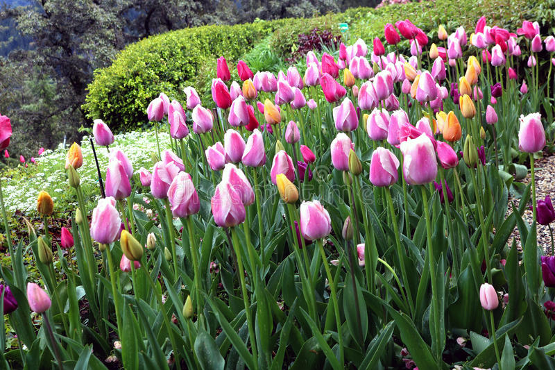 Tulpen ungefähr zur Blüte stockfotos