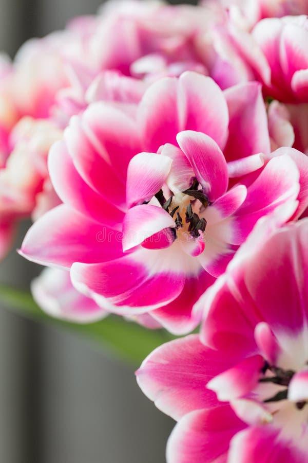 Tulpen van roze en witte geopende kleur Grote knoppen van multicoloured tulpen Bloemen natuurlijke achtergrond Gevulde Bicolourtu stock afbeelding