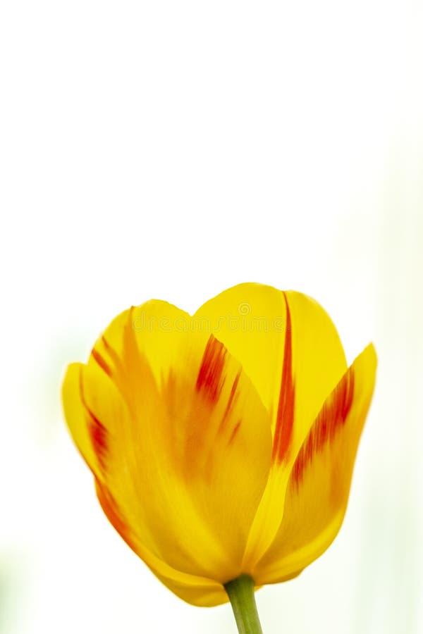 Tulpen in voller Bl?te, Fr?hling, Blumen Tulipanahaufnahme, Ostern, Postkarte auf dem Hintergrund des blauen Himmels stockfoto