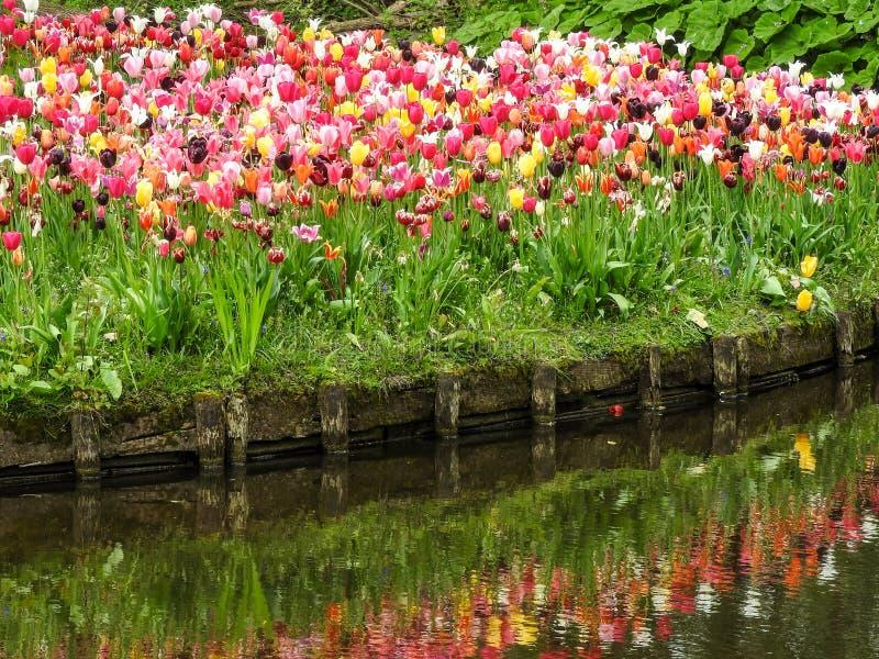 Tulpen in Vondelpark in Amsterdam stock afbeeldingen