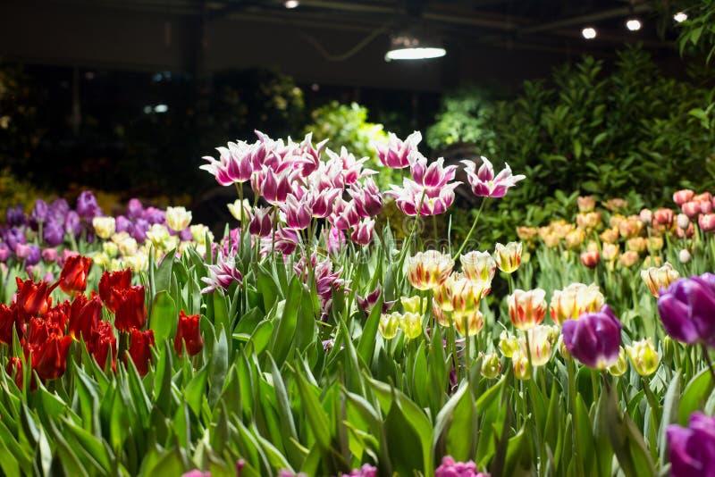 Tulpen voor verkoop voor de vakantie bij de serre royalty-vrije stock afbeelding