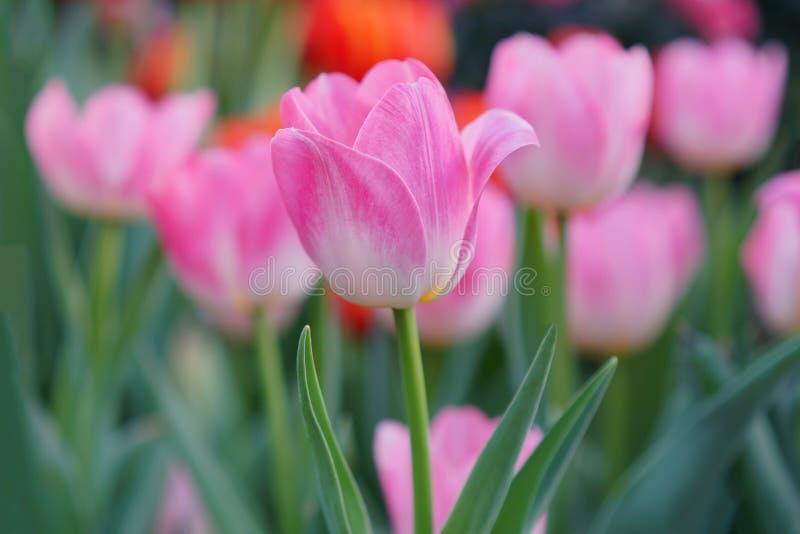 Tulpenachtergrond, Roze die bloemtulp door zonlicht, Zachte selectieve nadruk, Tulp dicht omhoog wordt aangestoken royalty-vrije stock foto's