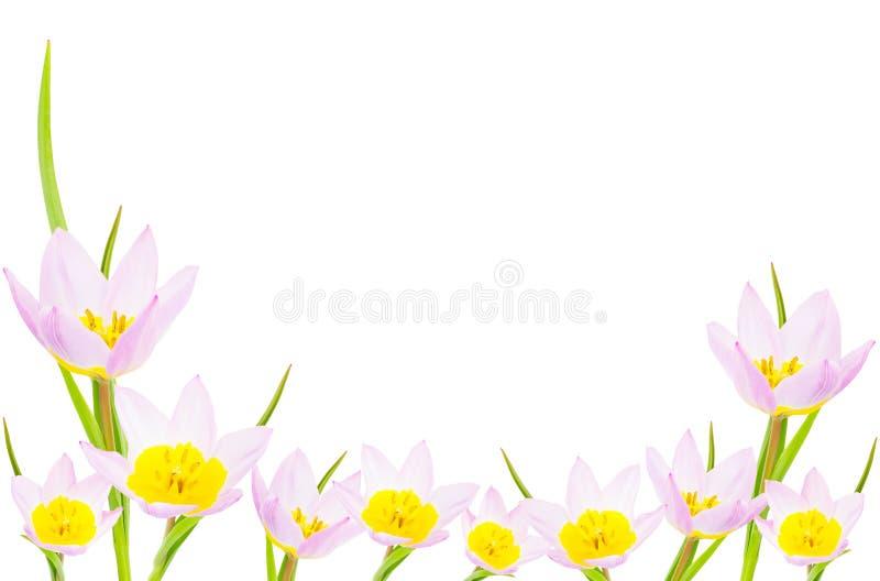 Tulpenbanner met exemplaarruimte vector illustratie