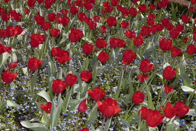 Tulpenblüte lizenzfreies stockbild