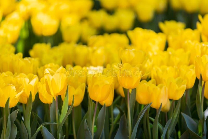 Tulpenblüte im Garten mit Linse unscharfem Effekt als Vordergrund und Hintergrund, einigem in Folge und etwas von ihr verbreitete lizenzfreie stockbilder